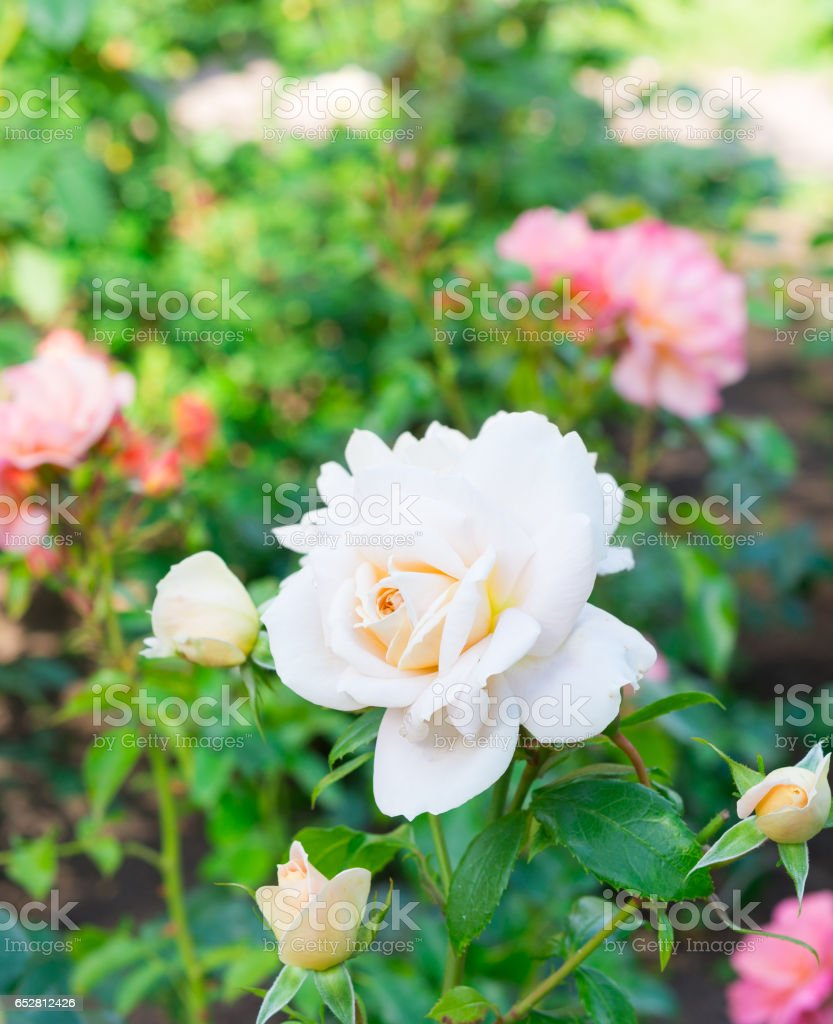 Garden flowers. Light Pink Roses stock photo