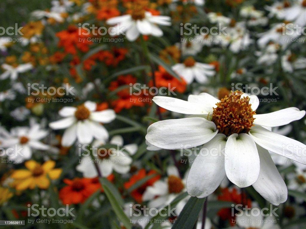 Garden flowers royalty-free stock photo