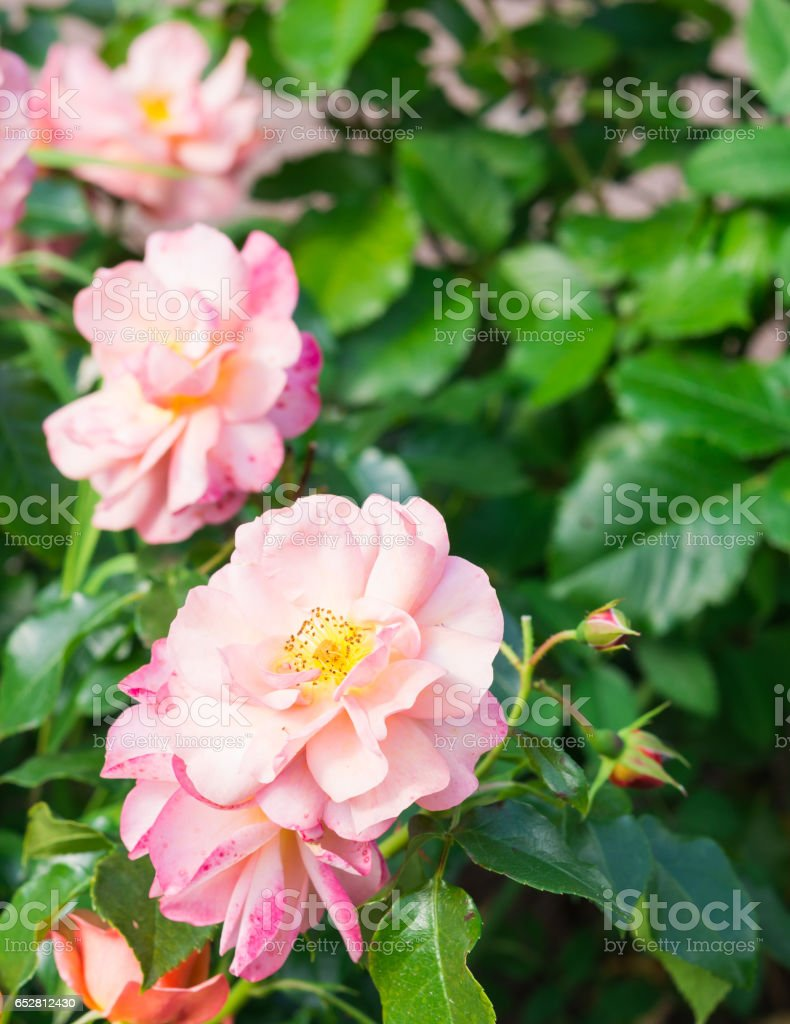 Garden flowers. Pink Rose. stock photo