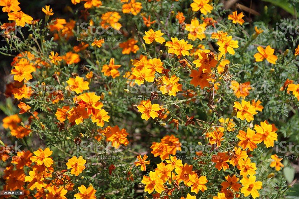 Garden flowers tagetes stock photo