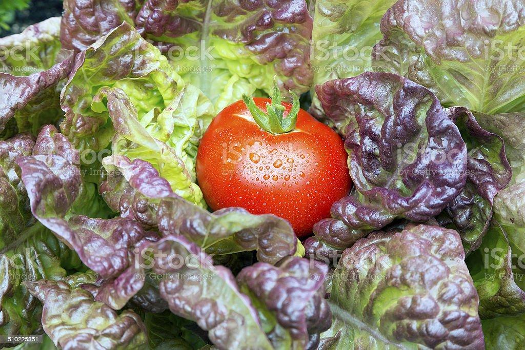 Garden frischen Tomaten Lizenzfreies stock-foto