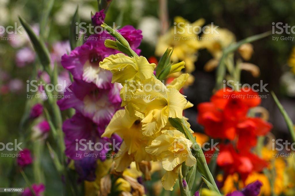 Garden gladiolus (Gladiolus x hortulanus) stock photo