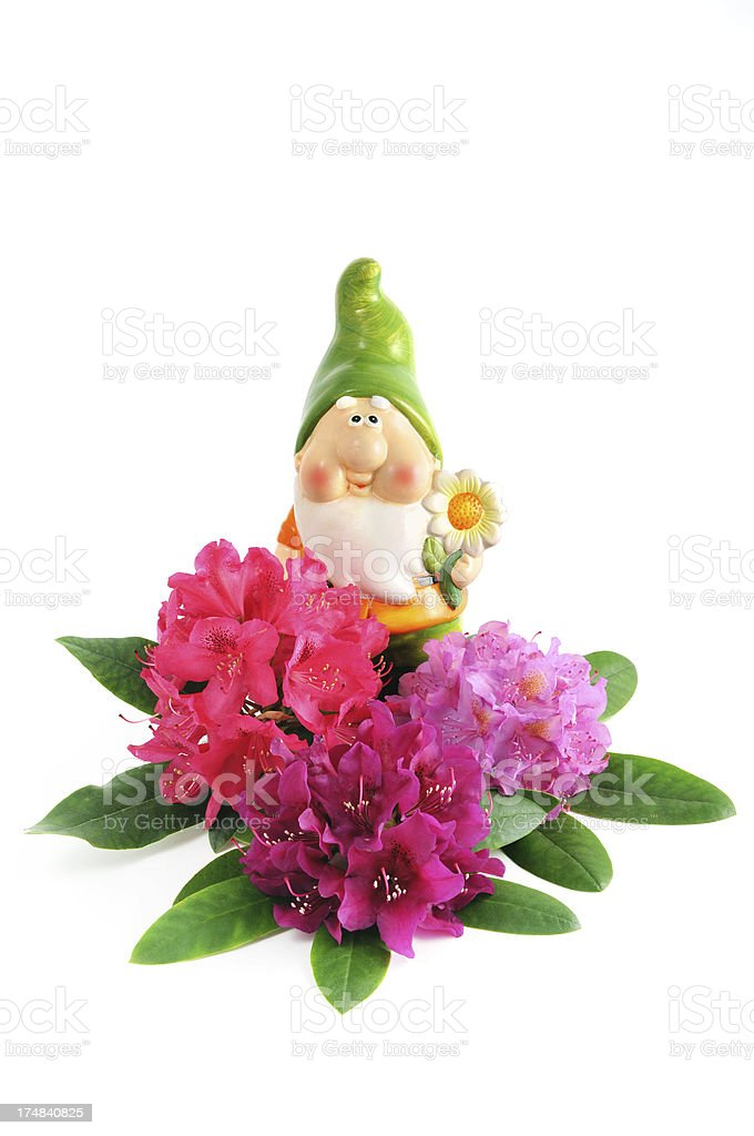 garden gnome with isolated group of Rhododendrons royalty-free stock photo
