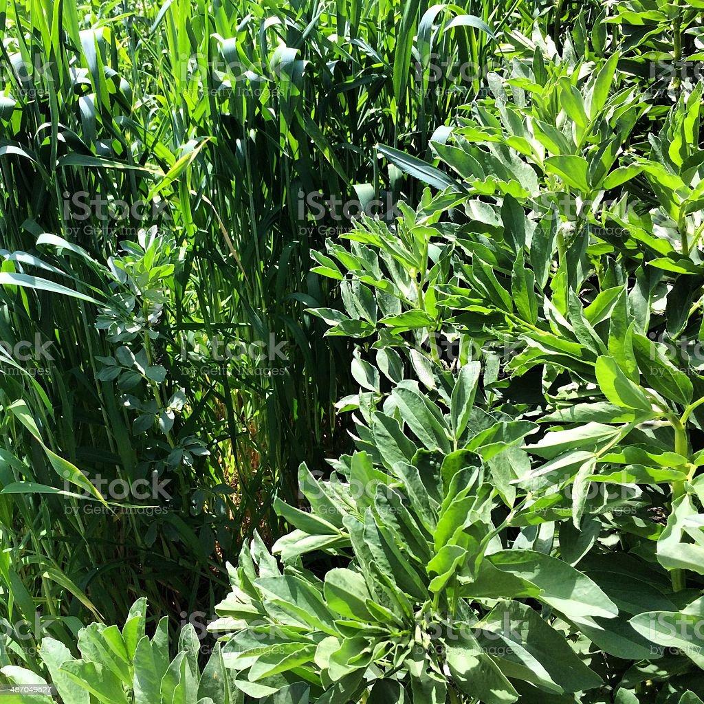 Garden Greens stock photo
