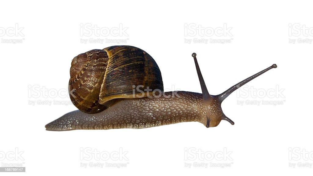 Garden Land Snail royalty-free stock photo