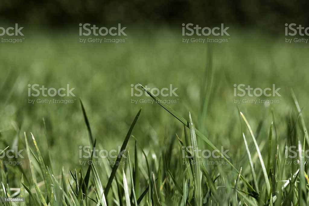 Garden Lawn - Through the blades stock photo