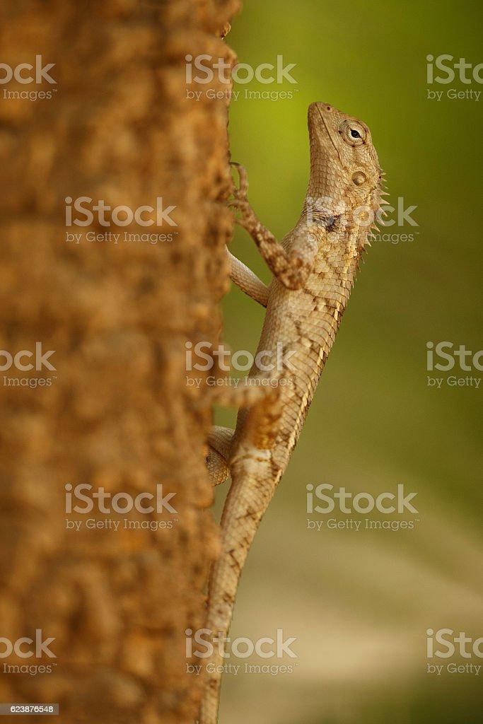 garden lizard around the desert little rann of kutch stock photo