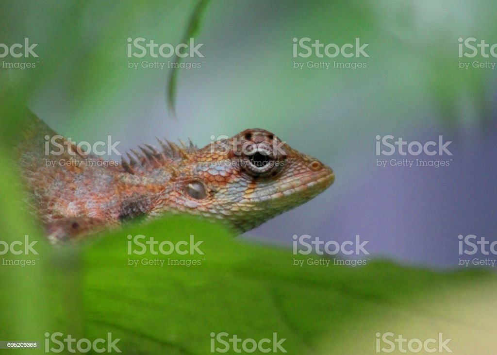 Garden lizard / tree lizard in Sri Lanka stock photo