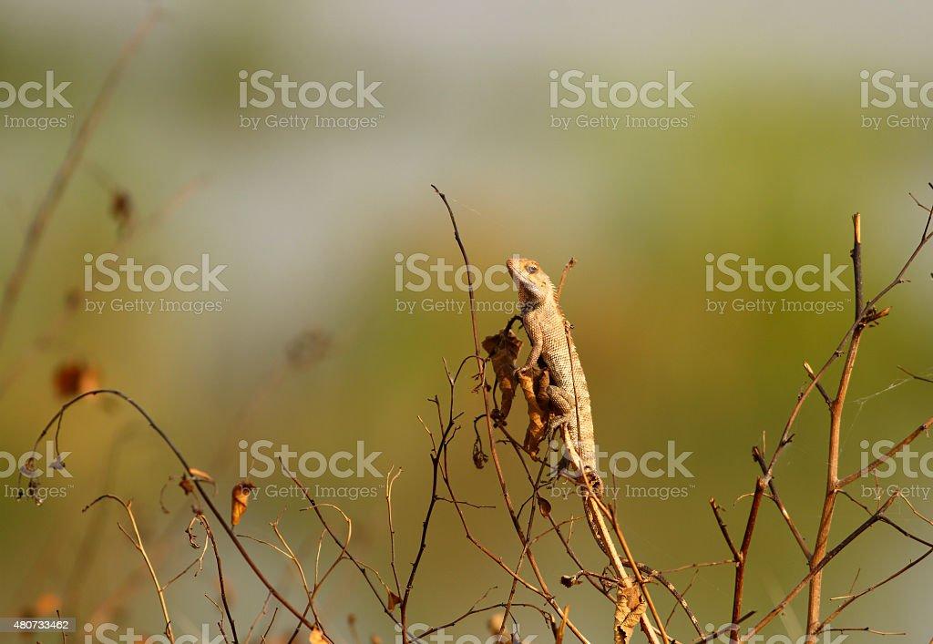 Garden lizzard stock photo