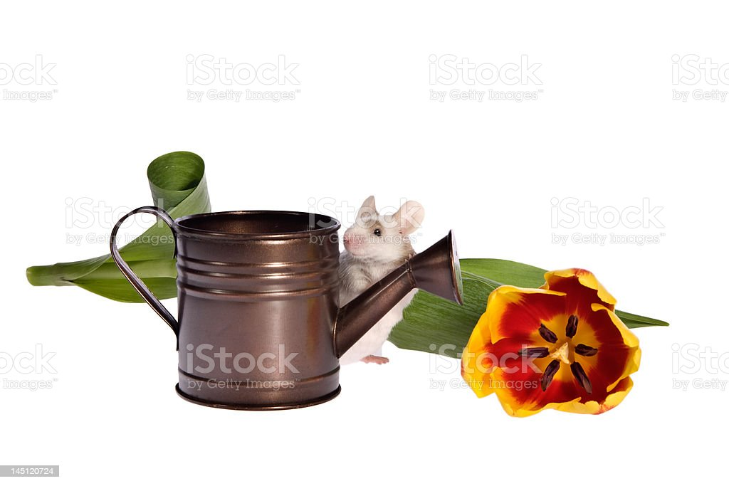 Garden Mouse with Tulip and Watering Can royalty-free stock photo