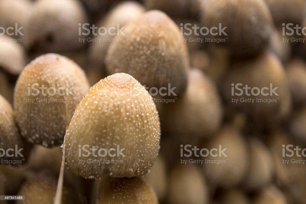 Garden Mushrooms royalty-free stock photo