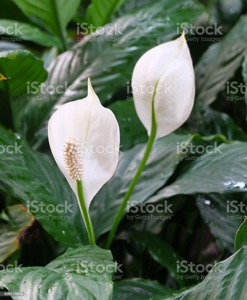 Garden of Anthurium Flowers or Flamingo Flowers stock photo