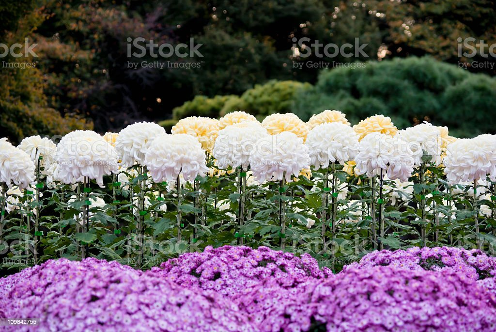 Garden of asters and large Japanese chrysanthemums royalty-free stock photo