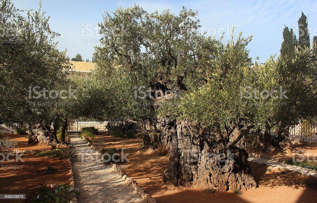 Garden of Gethsemane on Mount of Olives, Jerusalem, Israel stock photo
