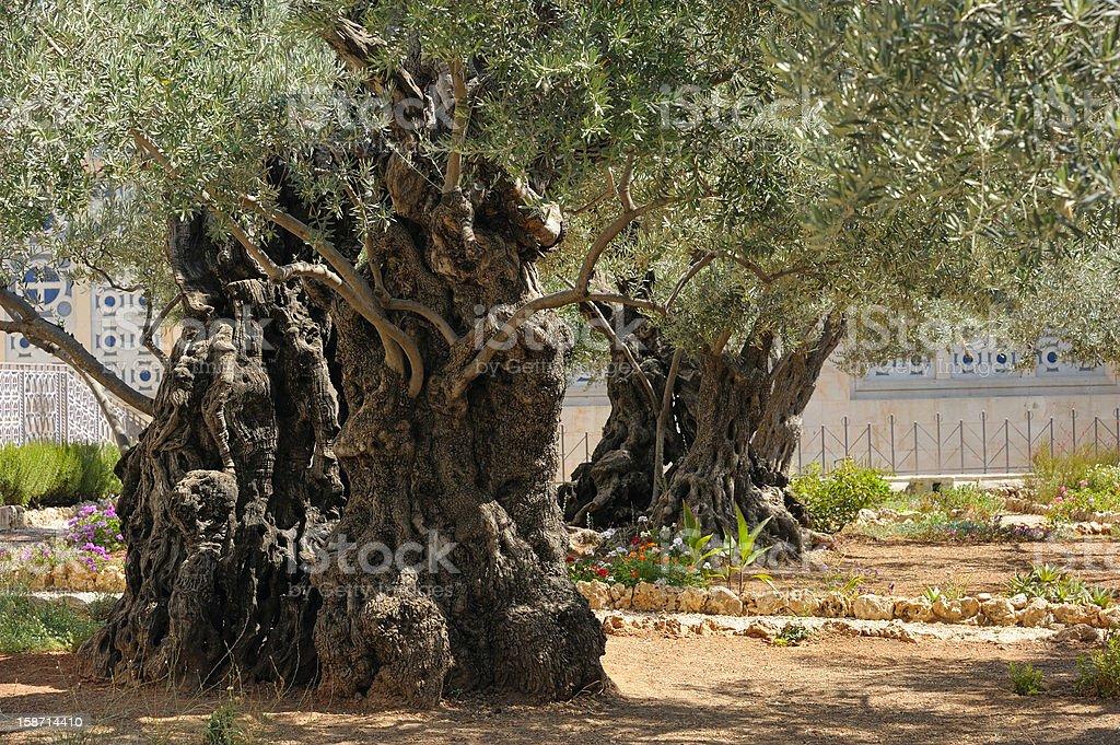 Garden of Gethsemane stock photo