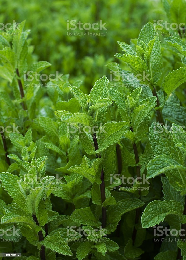 Garden of Mint royalty-free stock photo