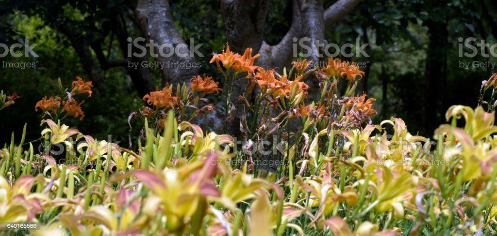 Garden of orange day-lilies stock photo