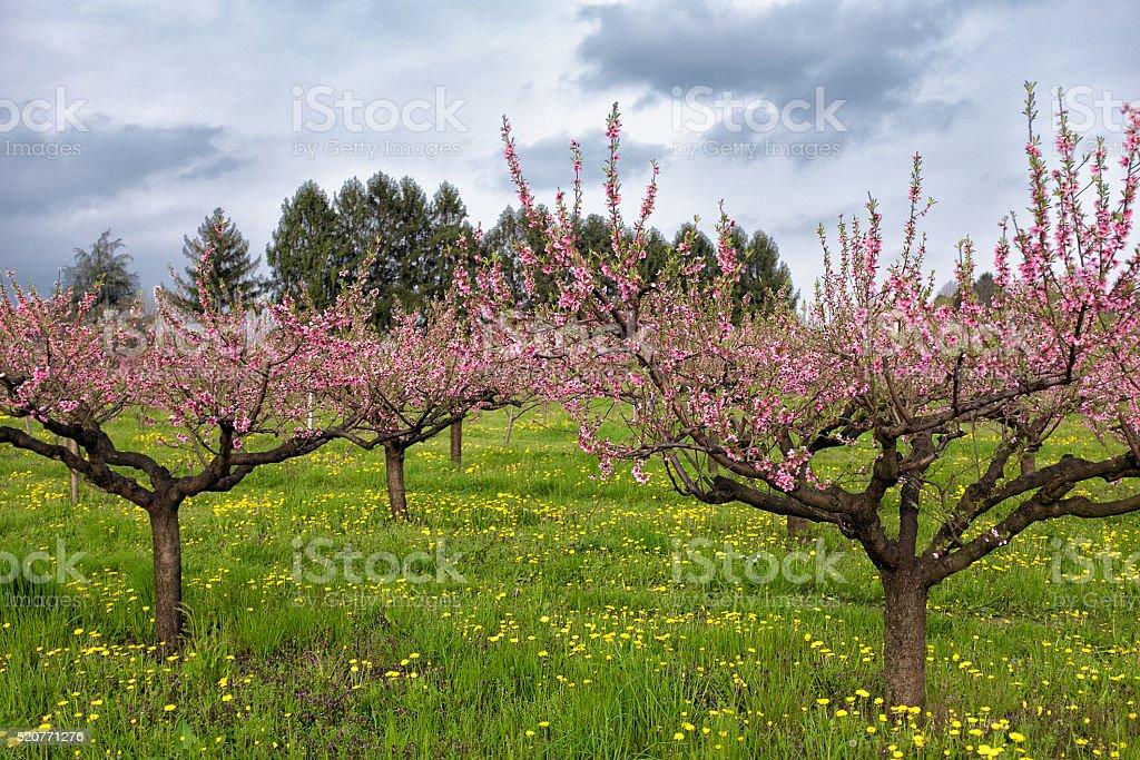 Garden of peach blossom stock photo