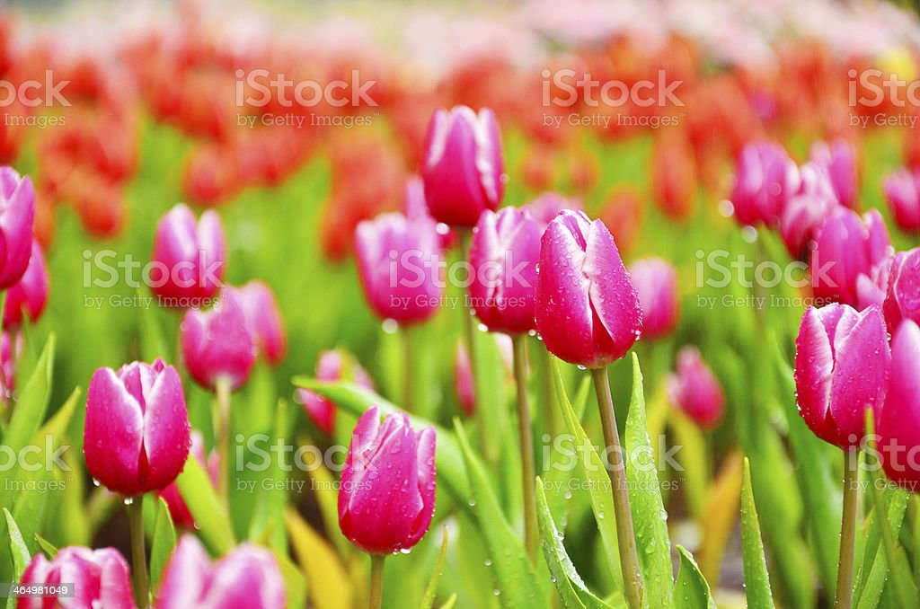 A garden of pink tulips with colorful blurred background stock photo