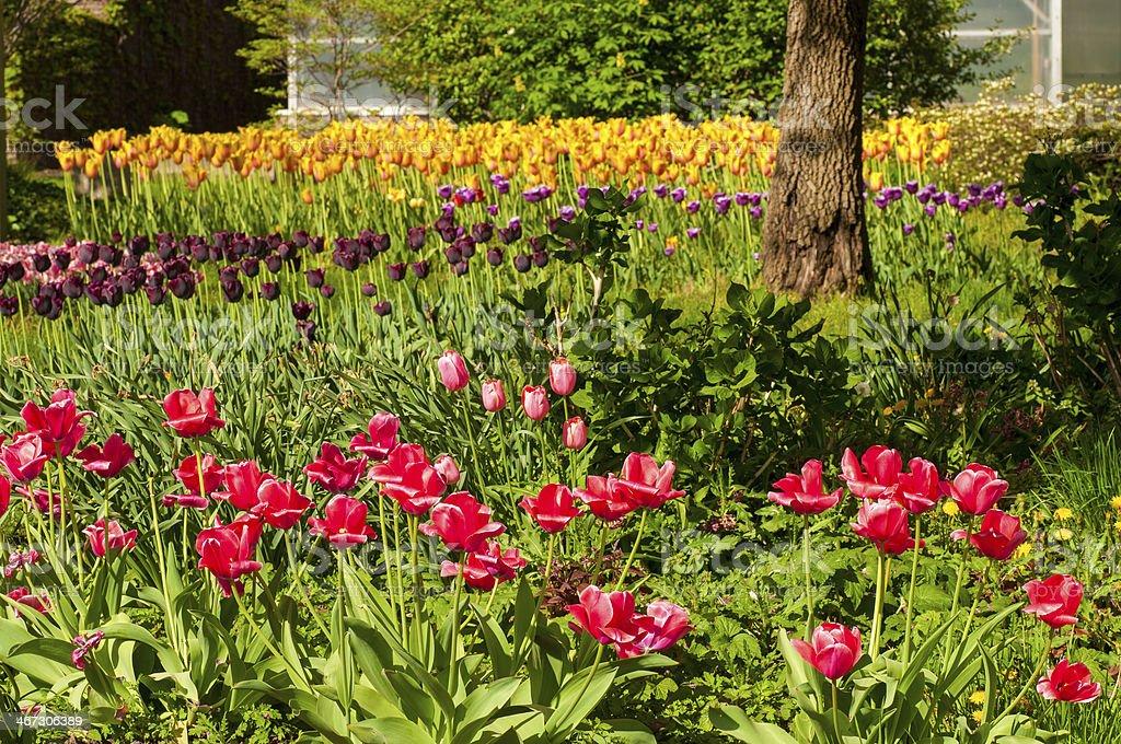 Garden of tulips stock photo