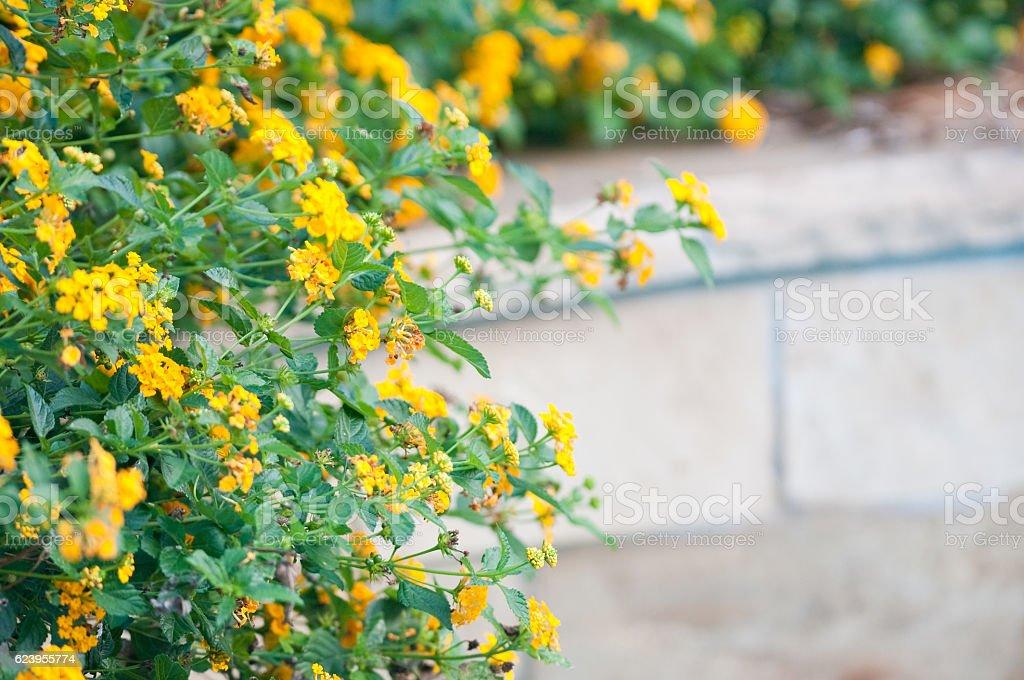 Garden of yellow lantana with copy space stock photo