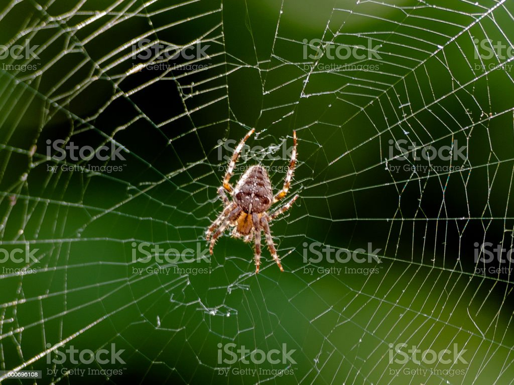 Garden or Cross Spider Repairing Cob Web stock photo