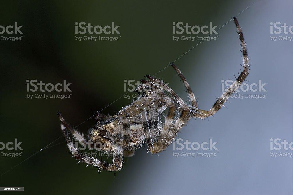 Garden Orb Spider At Night, Large Detailed Macro Closeup royalty-free stock photo
