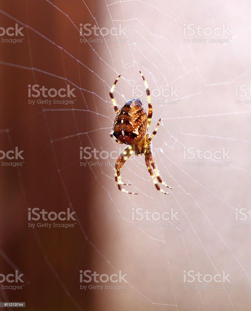 UK garden orb spider stock photo