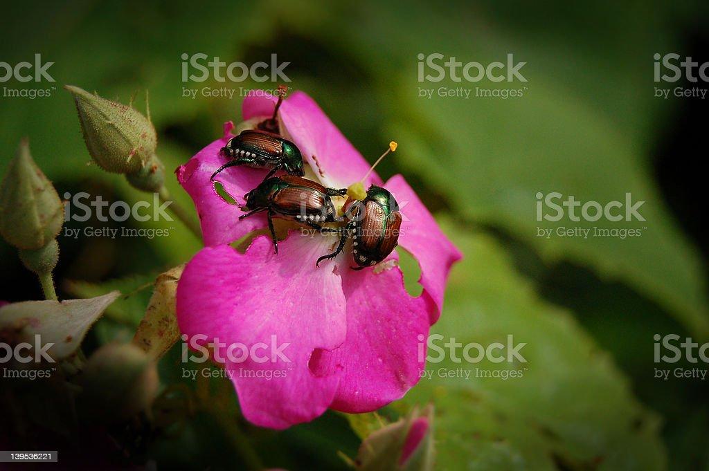 Garden Pests - Japanese Beetles stock photo