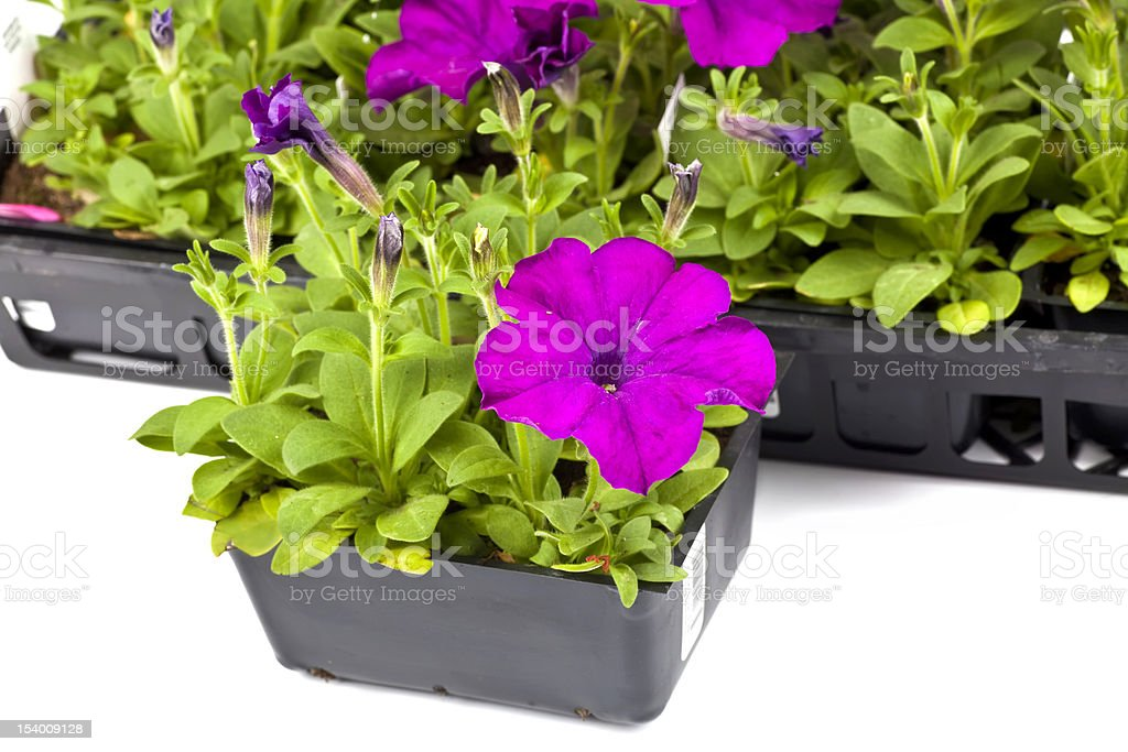 Garden Petunias royalty-free stock photo