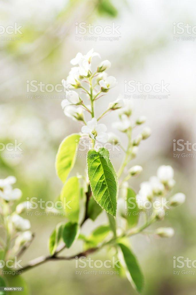 garden plant shrub amelanchier blooming closeup stock photo