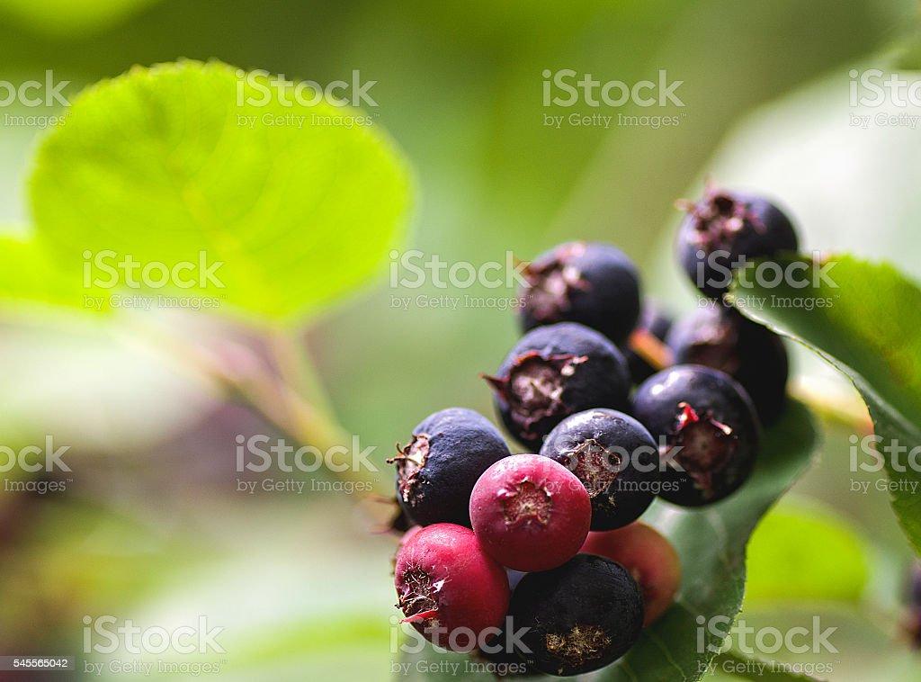 garden plant shrub Saskatoon ripening fruits stock photo
