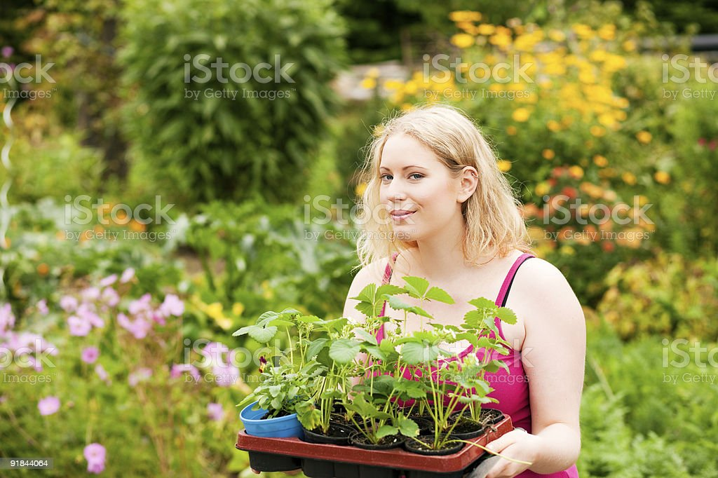 Garden – planting strawberry seedlings stock photo