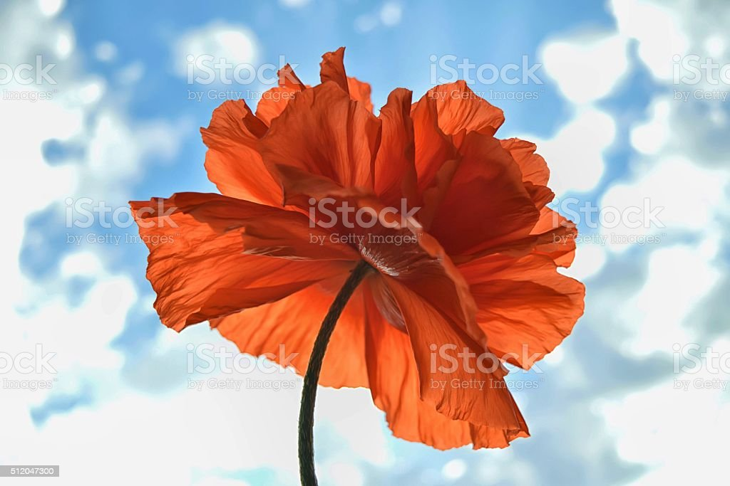 Garden poppy stock photo