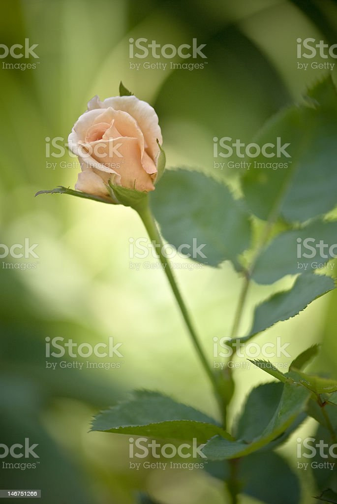 Garden Rose royalty-free stock photo