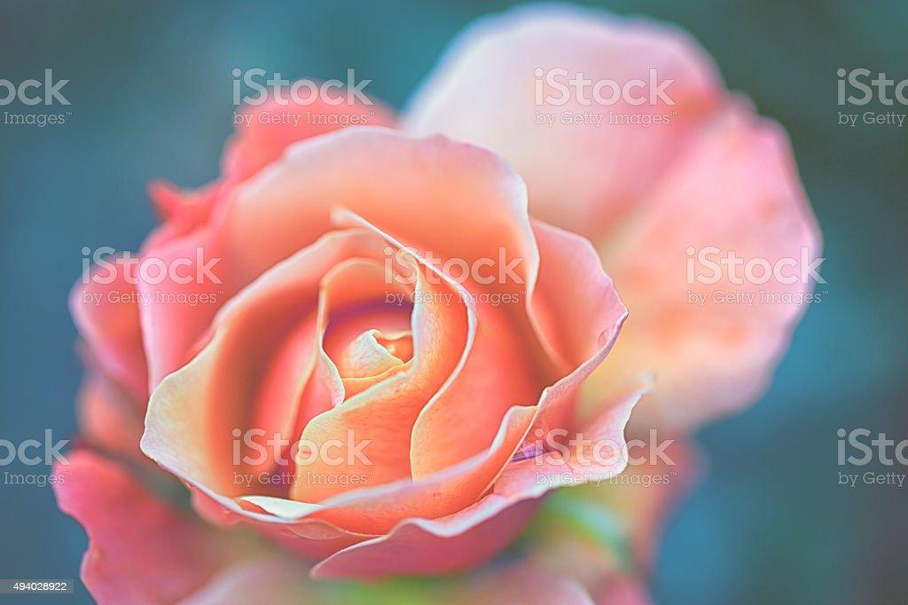 Garden rose stock photo