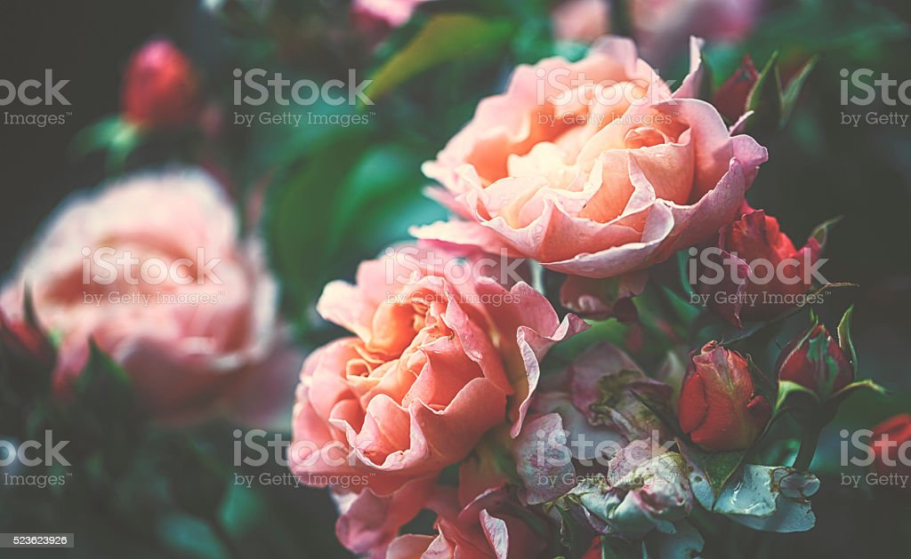 Garden rose stock photo