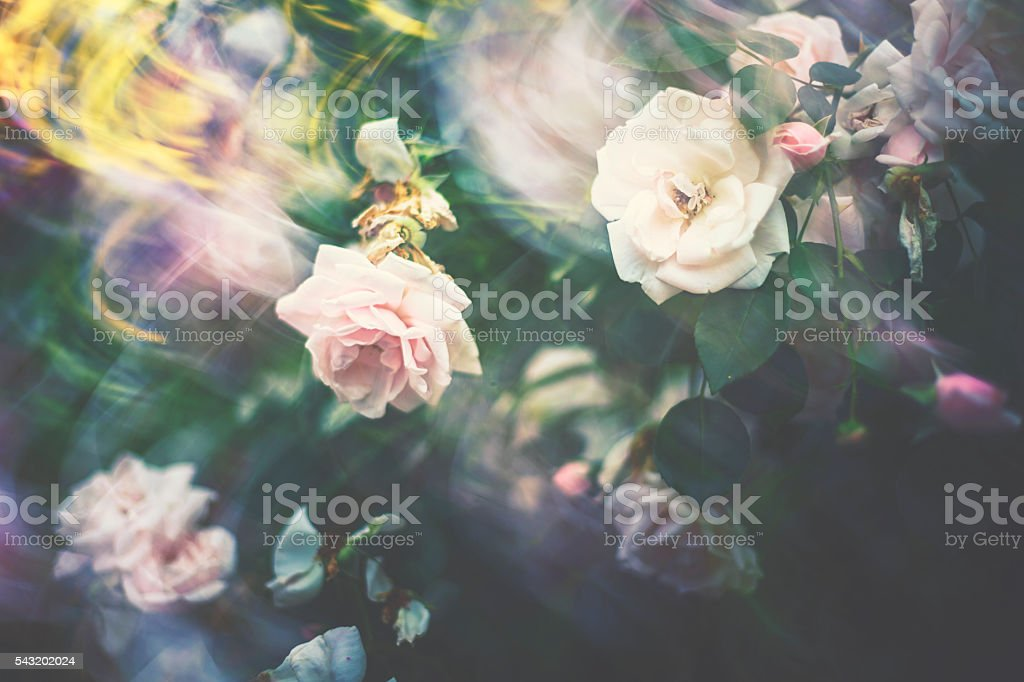 Garden rose with motion blur stock photo