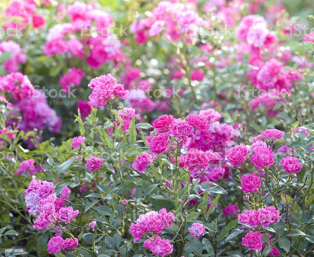 garden roses stock photo