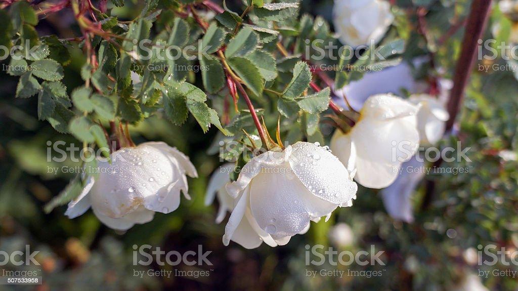 Jardim de rosas com gotas de orvalho foto de stock royalty-free