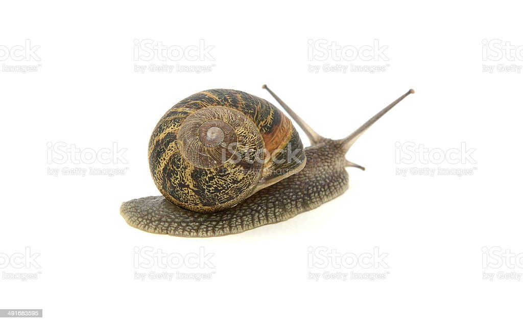 Garden snail crawling away royalty-free stock photo