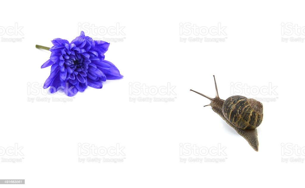 Garden snail heads towards a blue flower in the distance royalty-free stock photo
