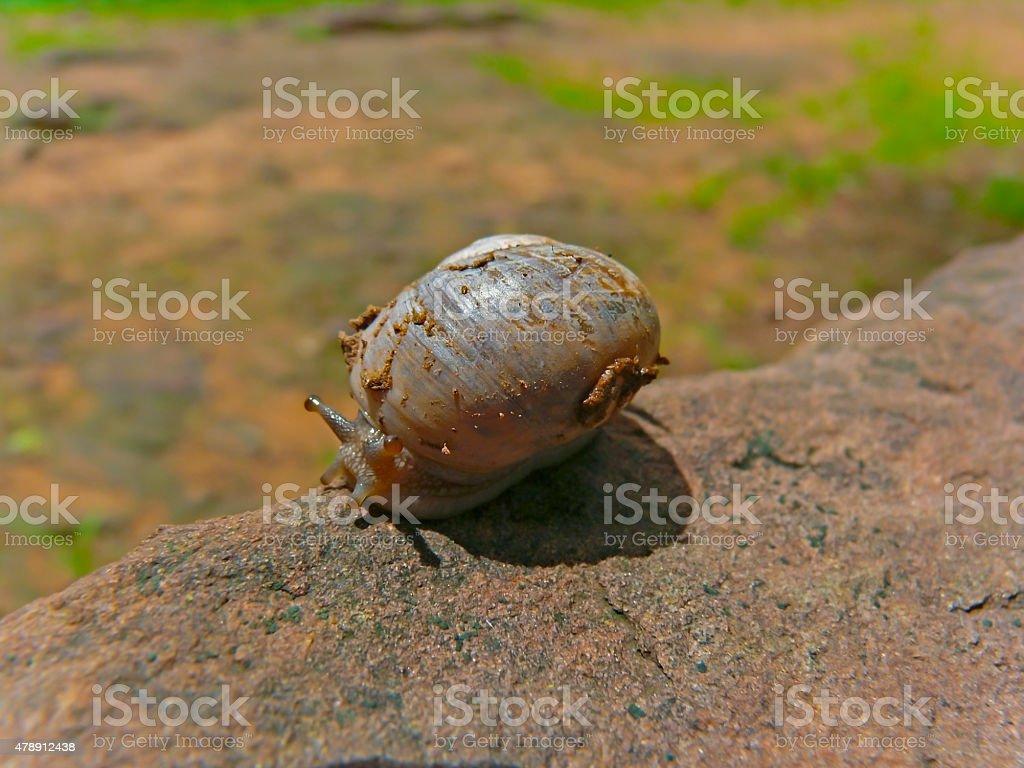 Garden snail, Helix aspersa stock photo
