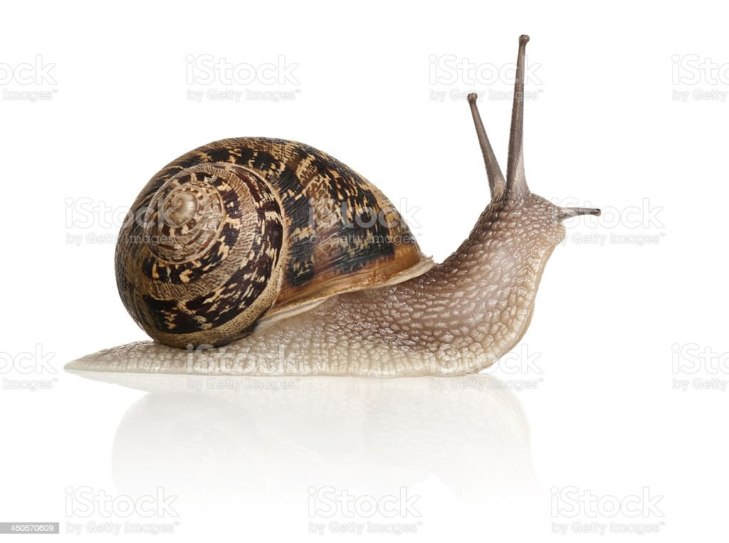 Garden Snail in front of white background stock photo