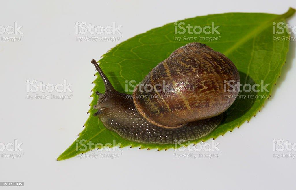 garden snail on a leaf stock photo