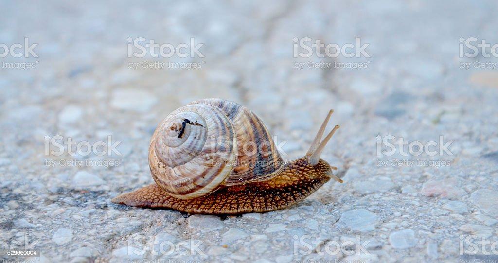 garden snail on apshalt road stock photo