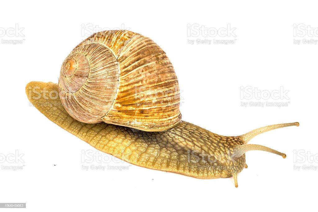 Garden snail (Helix aspersa) stock photo