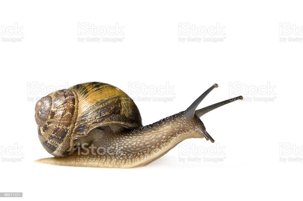 Garden snail royalty-free stock photo