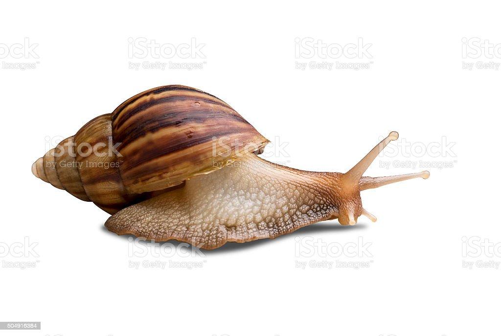 Garden Snail with path stock photo