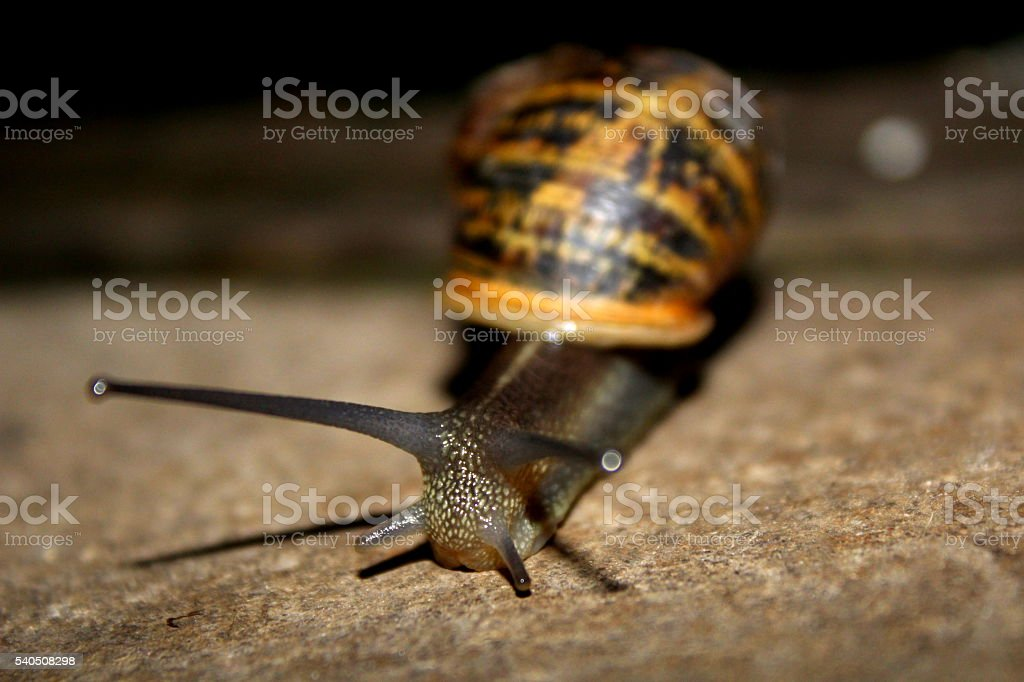 Garden Snail with shell on the patio - Close up stock photo